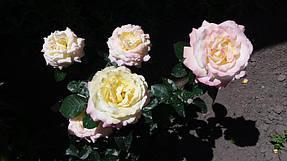 Чайно - гибридные розы. Фото-отзывы клиентов