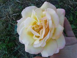 Чайно - гибридные розы. Фото-отзывы клиентов 4