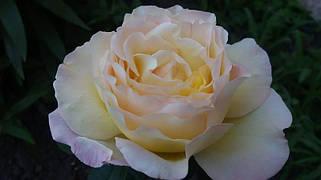 Чайно - гибридные розы. Фото-отзывы клиентов 8