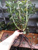 Чайно - гибридные розы. Фото-отзывы клиентов 9