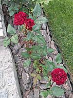 роза чайно-гибридная  Торнадо