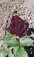 роза чайно-гибридная Блэк Мейджик ( фотопредоставлено покупателем Людмила Музюкина)