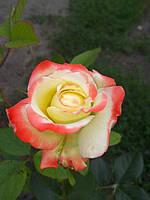 фото роз предоставлено покупателем Марина Глушенко ( Шевченко) сорт Императрица