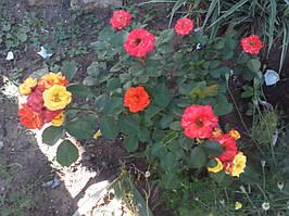 фото бардюрной розы Маскарад Фото Анюты Степенко
