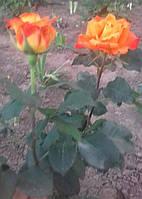 фото чайно гибридной розы ( предоставлено покупателем  Галиной Булат)