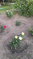 фото чайно гибридной розы ( предоставлено покупателем Миросенко)