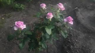 фото чайно гибридной розы Аква ( предоставлено покупателем Галиной Булат)