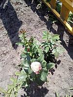 фото чайно гибридной розы ( предоставлено покупателем Любоа Л )