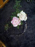 фото чайно ибридной розы ( предоставлено покупателем Галиной Л )