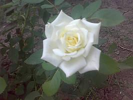 фото чайно гибридной розы ( предоставлено покупателем Стеценко Наталья)