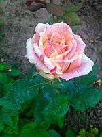 фото чайно гибридной розы Фиеста  ( предоставлено покупателем  Катя )