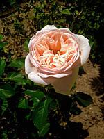 фото  розы ( предоставлено покупателем  Катя)