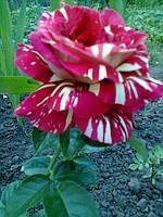 фото чайно-гибридной розы предоставлено покупателем Ирина Ефименко