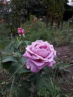 фото чайно-гибридной розы предоставил покупатель Ирина Ефименко