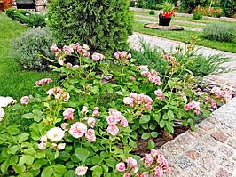 фото чайно-гибридной розы предоставлено покупателем  Наталья