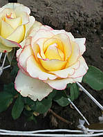 фото чайно-гибридной розы предоставлено покупателем  Данькова