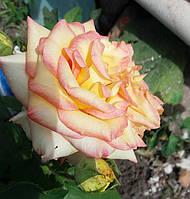 Чайно - гибридные розы. Фото-отзывы клиентов 40