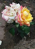 Чайно - гибридные розы. Фото-отзывы клиентов 41