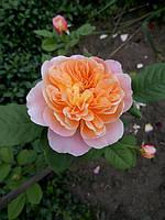 фото чайно-гибридной розы предоставила клиентка Саморукова