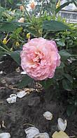 фото чайно-гибридной розы предоставлено покупателем Сидоренко