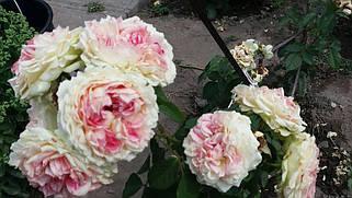 Чайно - гибридные розы. Фото-отзывы клиентов 45