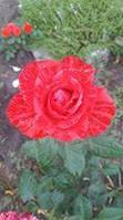 фото чайно-гибридной розы Ред Интуишн