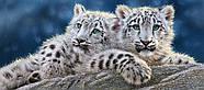 """Пазлы касторленд на 600 элементов. """"Детеныши снежного леопарда"""".  Панорамные., фото 2"""