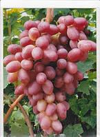 Виноград Аристократ