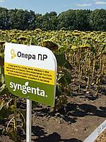 Семена подсолнечника Опера ПР Сингента импорт