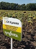 Семена подсолнечника Сингента  СИ Купава (Syngenta)