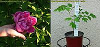 Пион древовидный Terry Pink (Махровый Розовый) 2года)