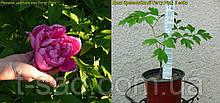 Пион древовидный Terry Pink (Махровый Розовый) 2года