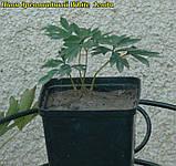 Півонія деревовидна White 1 рік, фото 2