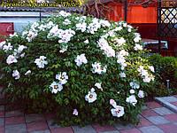 Пион древовидный White 2х года