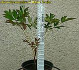 Півонія деревовидна White 3 роки, фото 6