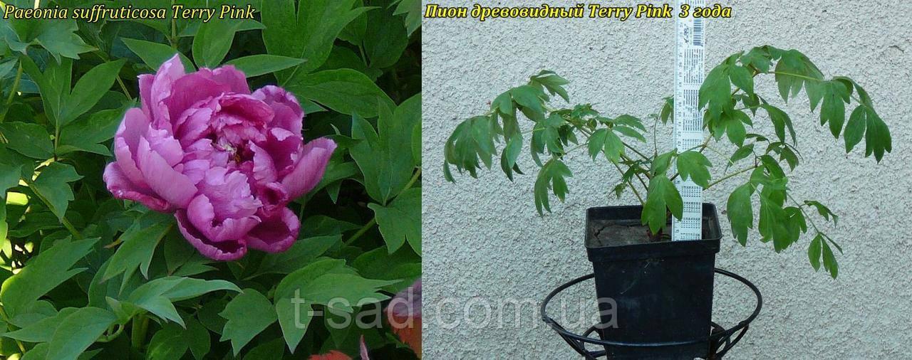 Пион древовидный Terry Pink (Махровый Розовый) 3 года