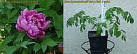 Пион древовидный Terry Pink (Махровый Розовый) 3 года)