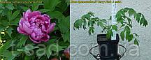 Півонія деревовидна Terry Pink (Махровий Рожевий) 3 роки