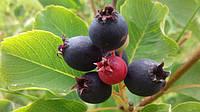 Летняя подкормка повысит урожайность ягод в следующем сезоне