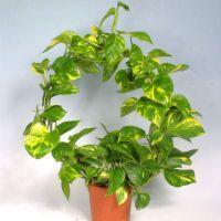 Декоративнолиственные комнатные растения и лианы