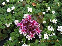 Бакопа — 365 дней цветения