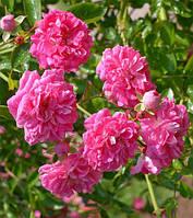 Роза плетистая Супер Дороти