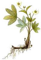 Лапчатка белая корень