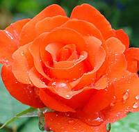 Роза Анжелика (Angelique)