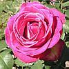Роза Верди (Verdi)
