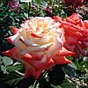 Роза Императрица Фарах (Imperatrice Farah)