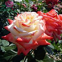 Роза Императрица Фарах (Imperatrice Farah), фото 1