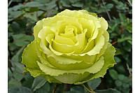 Роза Лимбо (Limbo), фото 1