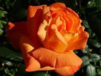 Роза Луи де Фюнес (Louis de Funes)