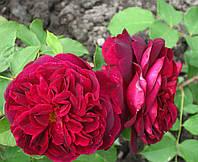 Роза Манстед Вуд. Английская роза.